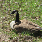 "Cedar Lake goose.  She didn't hiss at me yet, but she did give me the ""stink eye"""